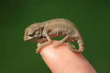 Chameleons Make Good Pets? What You Need to Know